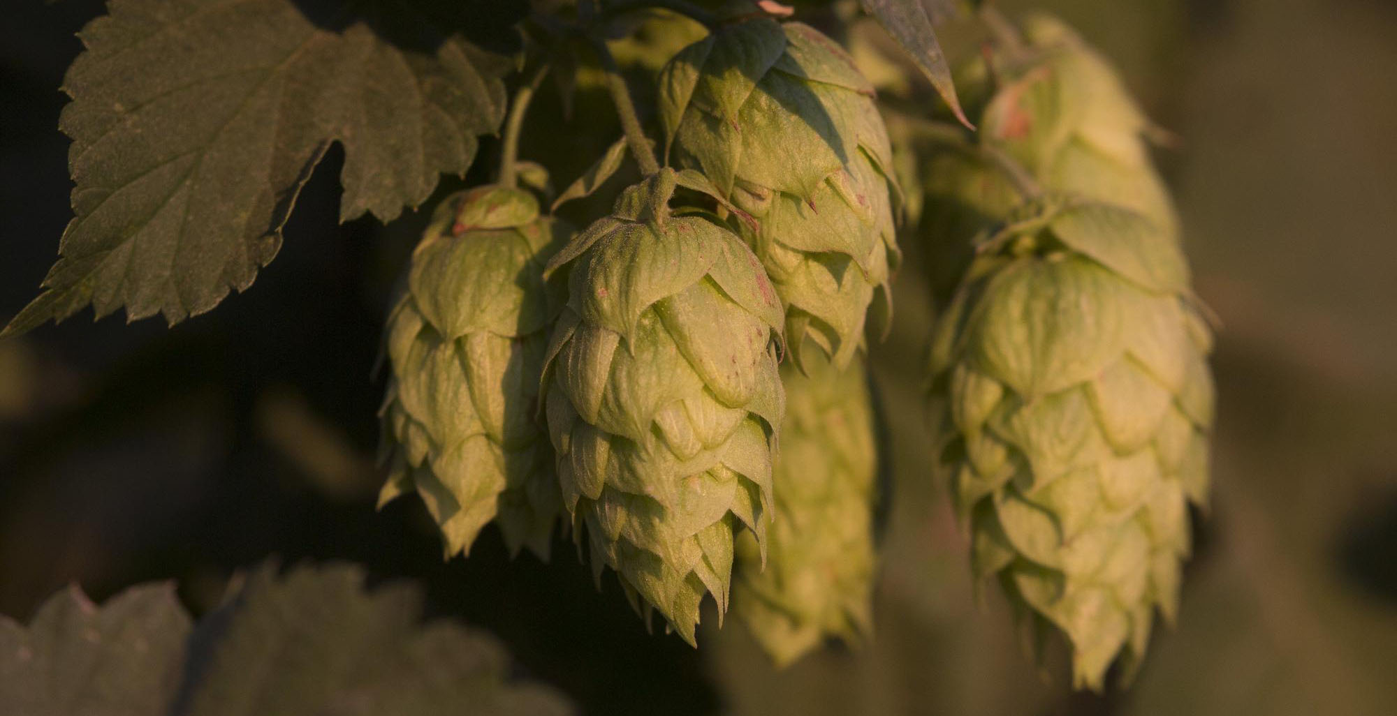 Hops grow on a vine at Roy Farms in Moxee, Washington on September 16, 2016. A shortage of certain hops varieties is contributing to this year's slowdown in craft beer sales. CREDIT: David Ryder for The Wall Street Journal.   Slug: HOPS